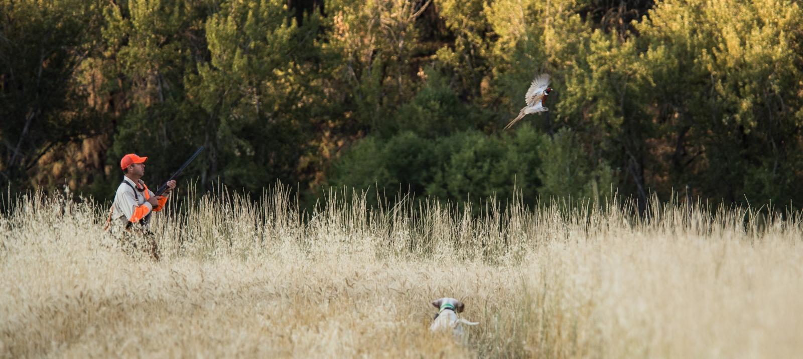 pheasant flushing