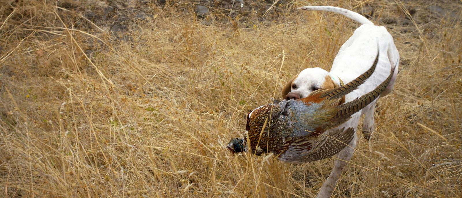 english pointer with pheasant