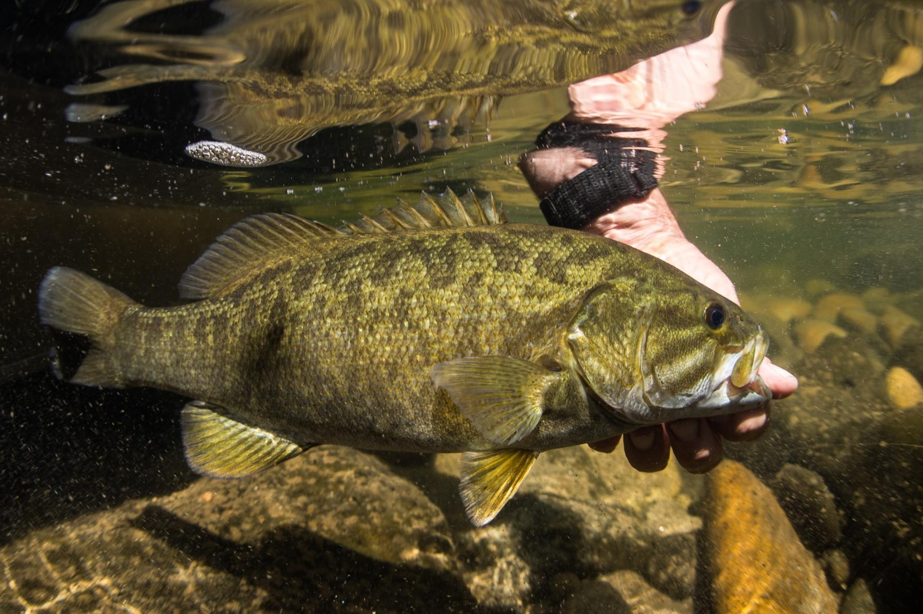 pictures of small mouth bass